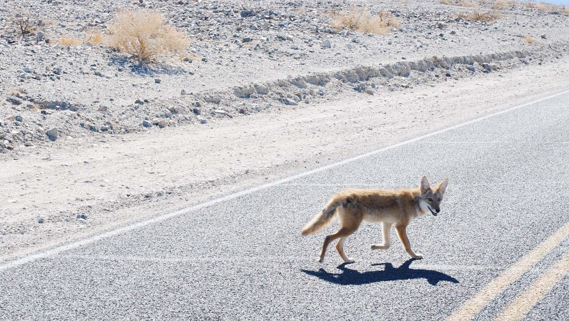 coyote death valley