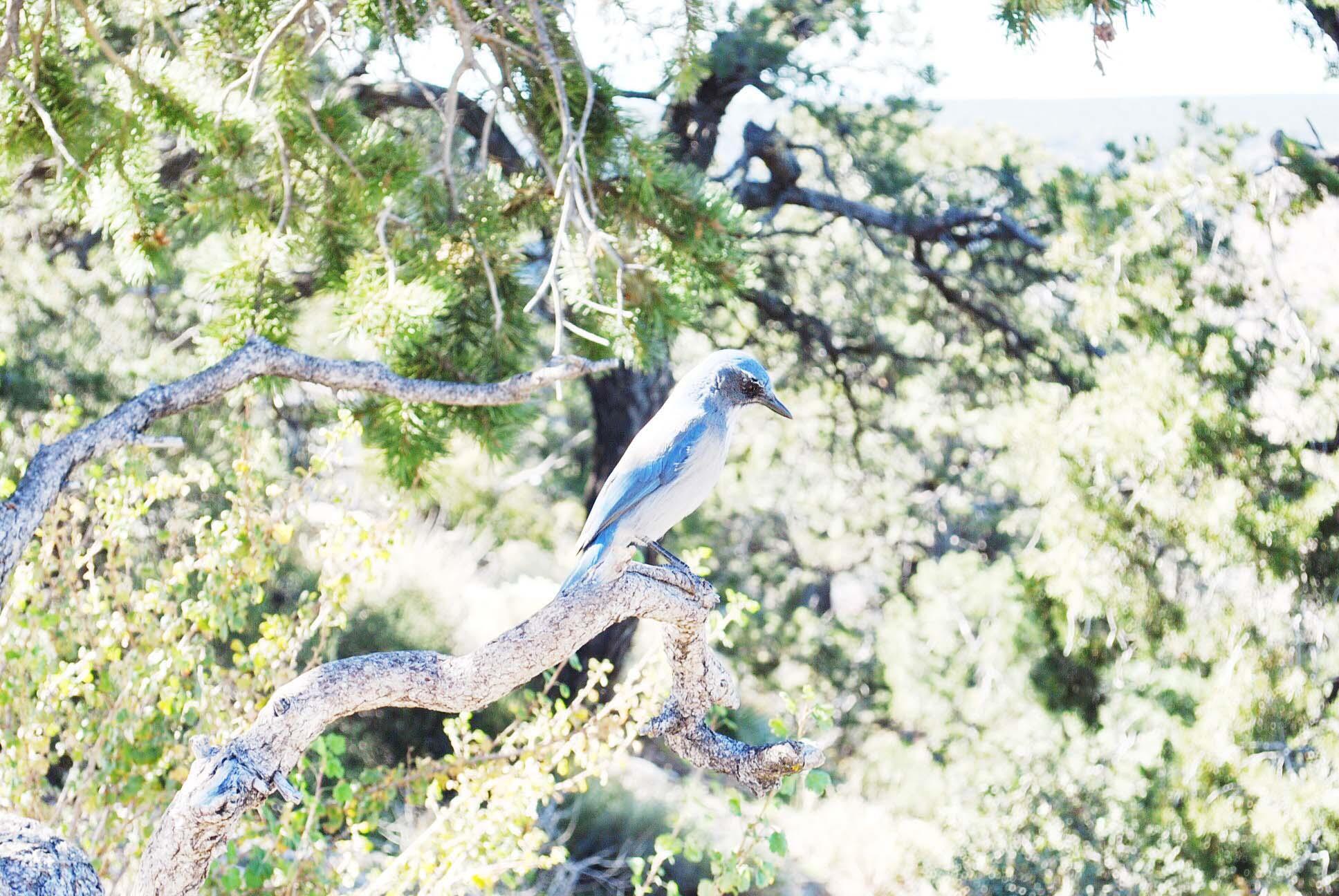 oiseau bleu grand canyon